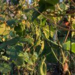 Фасоль вьющаяся — быстрорастущая живая изгородь