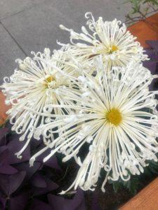 хризантема паук