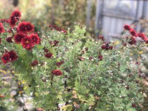 хризантемы бордовые