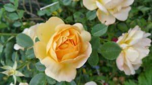 Когда и как выращивать розы