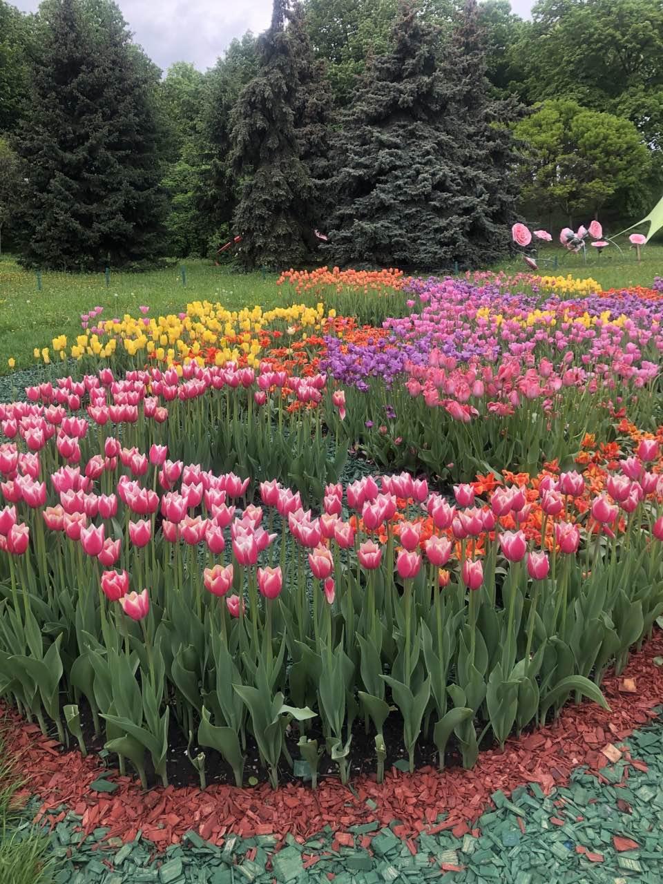 Тюльпаны: история, сорта, виды