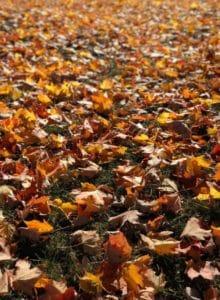 Вредители из опавших листьев