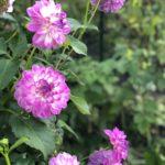 Георгины — виды, посадка и выращивание
