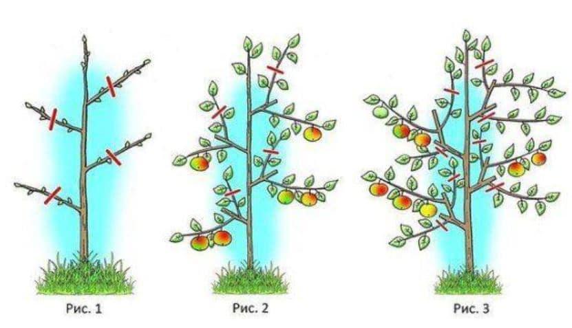 правильная обрезка яблонь