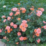 Советы по выращиванию роз
